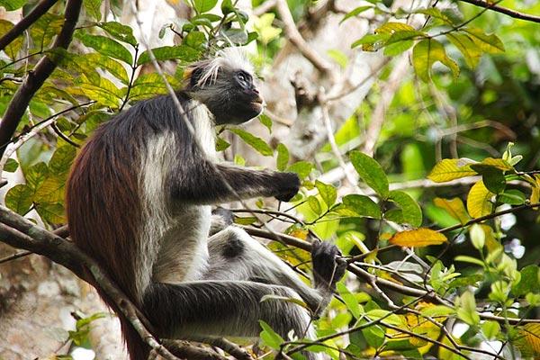 Singe Rouge forêt de Jozani, Zanzibar